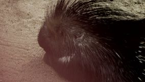Porcupine in the Sand stock video footage