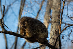 Porcupine sat high in the tree tops surveying intruders. Porcupines pronounced blue are rodents with a coat of sharp spines, or quills, that protect against Royalty Free Stock Photo
