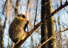 Porcupine sat high in the tree tops surveying intruders. Royalty Free Stock Photography