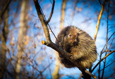 Porcupine sat high in the tree tops surveying intruders. Porcupines pronounced blue are rodents with a coat of sharp spines, or quills, that protect against Stock Photography