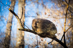 Porcupine sat high in the tree tops surveying intruders. Stock Photos