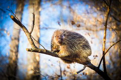 Porcupine sat high in the tree tops surveying intruders. Porcupines pronounced blue are rodents with a coat of sharp spines, or quills, that protect against Royalty Free Stock Photos