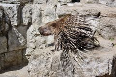 Porcupine with sharp spines Royalty Free Stock Photo