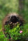 Porcupine Sitting on Stump Stock Photo