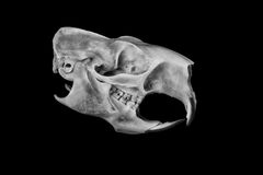 Porcupine Skull Royalty Free Stock Images