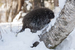 Porcupine on snow  and birch tree in winter Royalty Free Stock Images