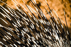 Porcupine spines or quills closeup Stock Photos