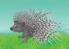 Porcupine. Spiny porcupine walking in green grass Royalty Free Stock Photos