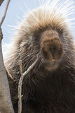 Porcupine with teeth showing in portrait shot Royalty Free Stock Image