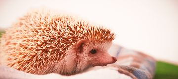 Porcupine on towel. Close-up of porcupine on towel Royalty Free Stock Images