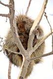 Porcupine in tree Stock Photos