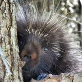 Porcupine. In a tree Royalty Free Stock Image