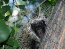 Porcupine on tree Stock Image