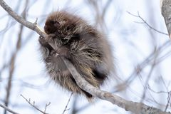 Porcupine up a tree eating bark royalty free stock images