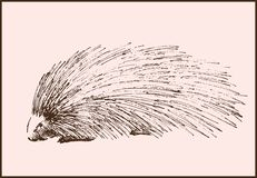 Porcupine. Vector sketch of a porcupine made by hand Stock Photos