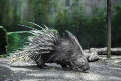Porcupine walking on the ground. Royalty Free Stock Photo