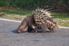 Porcupine walking to across the asphalt street. The porcupine walking to across the asphalt street Royalty Free Stock Photos