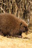 Porcupine Walking stock photography