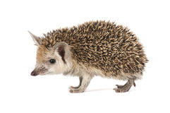 Porcupine on a white background Stock Image