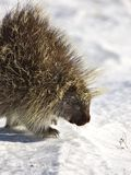 Porcupine in winter Stock Photos
