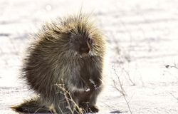 Porcupine in winter Royalty Free Stock Photos