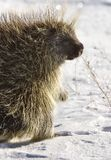 Porcupine in winter Royalty Free Stock Photography