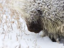 Porcupine in Winter Stock Photo