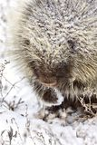 Porcupine in Winter Stock Photo