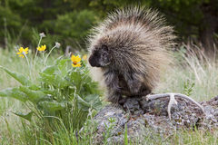 Porcupine in Woods Royalty Free Stock Image