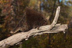 Porcupine (Erethizon dorsatum) Clambers Up Branch Royalty Free Stock Image