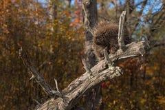 Porcupine (Erethizon dorsatum) Rests with Eyes Partially Closed Stock Photo