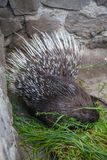 Porcupine in ZOO Stock Photography