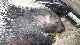 Porcupine in the zoo thailand stock video