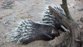 Porcupine in the zoo thailand Stock Photos