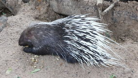 Porcupine in the zoo thailand stock video footage