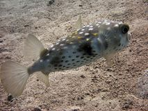 Porcupinefish. Not to be confused with pufferfish. note the spines on the body royalty free stock photos