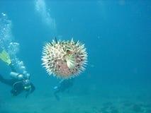Porcupinefish Stock Photos