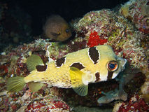 Porcupinefish Photo libre de droits