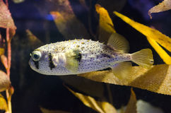Porcupinefish Royalty Free Stock Photography