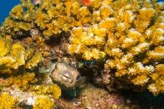 Porcupinefish Royaltyfria Bilder
