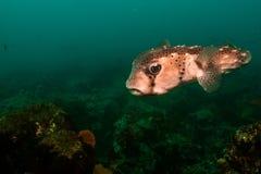 Porcupinefish Arkivbild