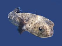 Porcupinefish Stock Image