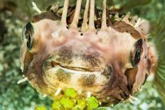 Porcupinefish in Ambon, Maluku, Indonesia underwater photo Royalty Free Stock Images