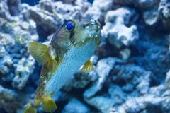 Porcupinefish belonging to the family Diodontidae. stock photo