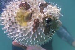Porcupinefish blotched preto na ilha de Lipe Fotografia de Stock