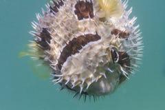 Porcupinefish blotched preto na ilha de Lipe Fotografia de Stock Royalty Free