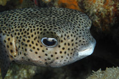 Porcupinefish Closeup Stock Images