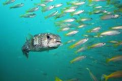 Porcupinefish commun Photo libre de droits