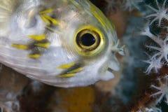 Porcupinefish couvert de taches de rousseur (juvénile) Images stock