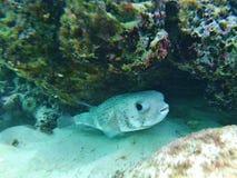 porcupinefish da Longo-espinha, peixe do soprador sob a República Dominicana do recife fotos de stock royalty free